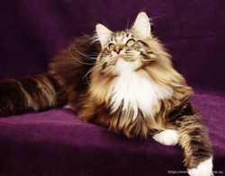 Питомник предлагает котенка мейн кун 1