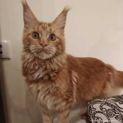 Кошка мейн-кун красная 2