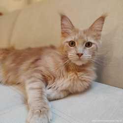 Кошка мейн-кун кремовая 3