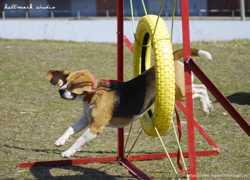 Дрессировка собак и аджилити в Харькове, подготовка к соревнованиям и выставкам