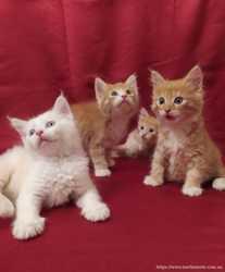 Красивейшие котята Мейн-кун