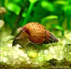 Улитки аквариуные Мелании 1