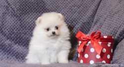 Продаётся щенок мини мишка померанский шпиц мальчик возраст 2 месяца