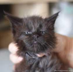 Котенок мейн кун черный солид 1