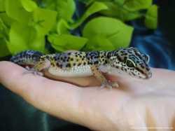 Эублефары (лат. Eublepharis) Ящерица эублефар, ручной геккон 2