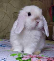 Карликовые цветные кролики/вислоухие баранчики MiniLop/NHD 3