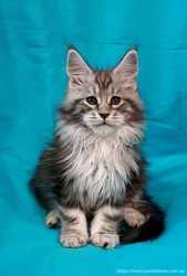 Мейн-кун котята , Питомник!!!
