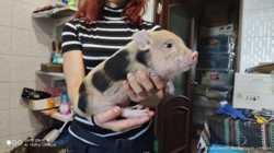 Карликовый свинки, мини пиг для дома - малыши 1