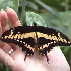 Продажа живых тропических бабочек для праздников, салютов, подарков. 3