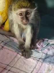 Маленька ручная мавпочка Верветка 1