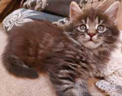 Котята породы мейн-кун 2