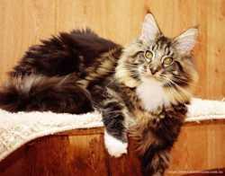 Питомник предлагает котенка мейн кун 3