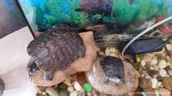 Продам черепаху 4 роки