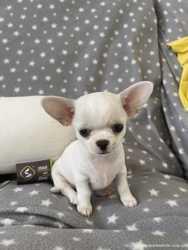 Чихуахуа самые сладкие щенки