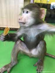 срочно продам обезьяну гамадрила