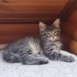 Продам чистокровного котенка породы Мейн-кун