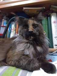 Кошка производитель мейн кун 1