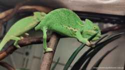 Ящерица экзот хамелеон йемен 1,5 мес и старше 1