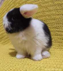ВислоушкиMinilop/NHD карликовые кролики