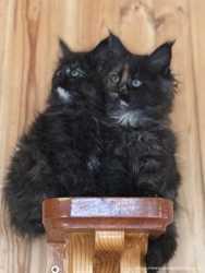 Замечательные котята породы Мейн Кун!