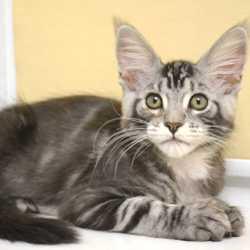 Котики мейн-кун из питомника