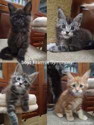Котики мейн-кун из питомника 2