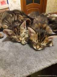 Котята Мейн-кун 2 девочки