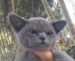 Кошка производитель мейн кун 2