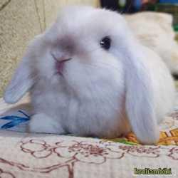 Карликовые цветные кролики/вислоухие баранчики MiniLop/NHD 2