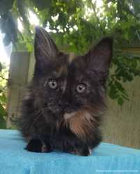 Котята Мейн кун 2