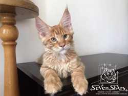 Монопитомник UA* Seven Stars открыт резерв на котят. 2