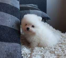 Продается щенок мальчик мини померанский шпиц 2
