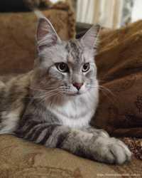 Кошки мейн-кун из питомника