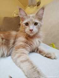 Кошка мейн-кун кремовая