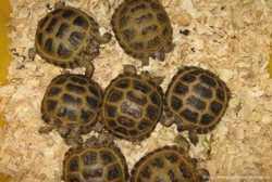 Акция черепаха сухопутная недорого 1