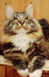 Продам котенка мейн кун 2