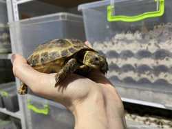 Черепаха ручная сухопутная 1