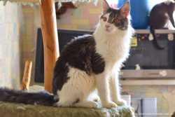 Котик мейн кун Торнадо 3