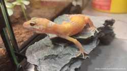 Ручной гекон для домашнего террариума 1