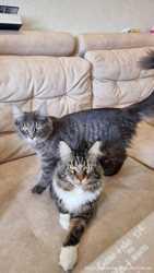 Maine coon котята от родителей класса breed. Украина