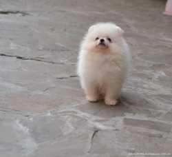 Красивые щенки Шпица Померанского.Окрас белый и светло-соболинный.