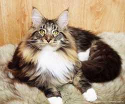 Питомник предлагает котенка мейн кун 2