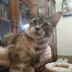 Кошки мейн-кун из питомника 2