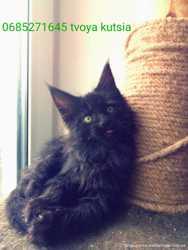 19 кошенят мейн-кун чемпіонські крові 3