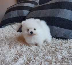 Продается щенок мальчик мини померанский шпиц 1