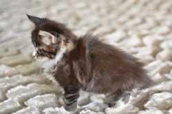 Кошечка мейн кун 3