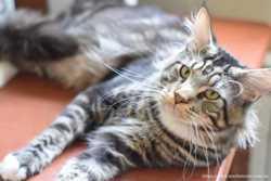 мраморный котенок Волли 2