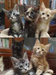 Настоящие породные котята мейн-кун