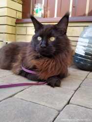 Взрослый кот мейн-кун