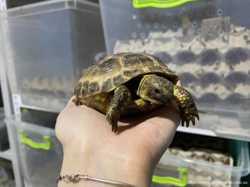 Черепаха ручная сухопутная 2